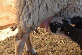 thirsty little lamb